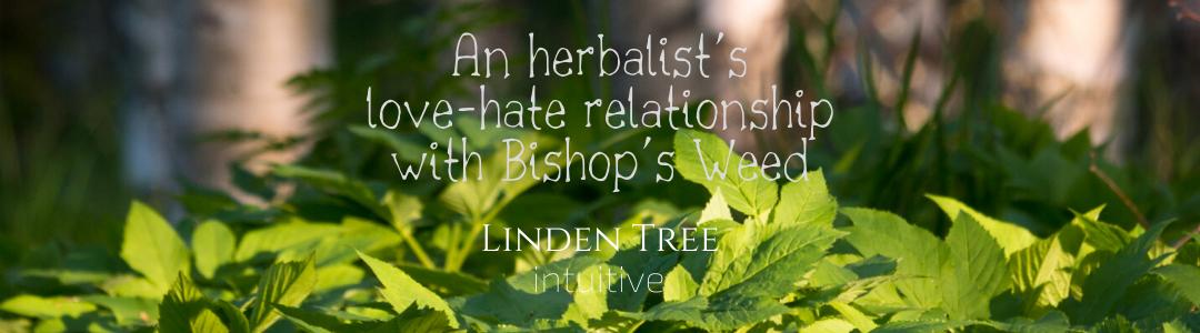 Herbal Spotlight: Bishop's Weed (Aegopodium podagraria)